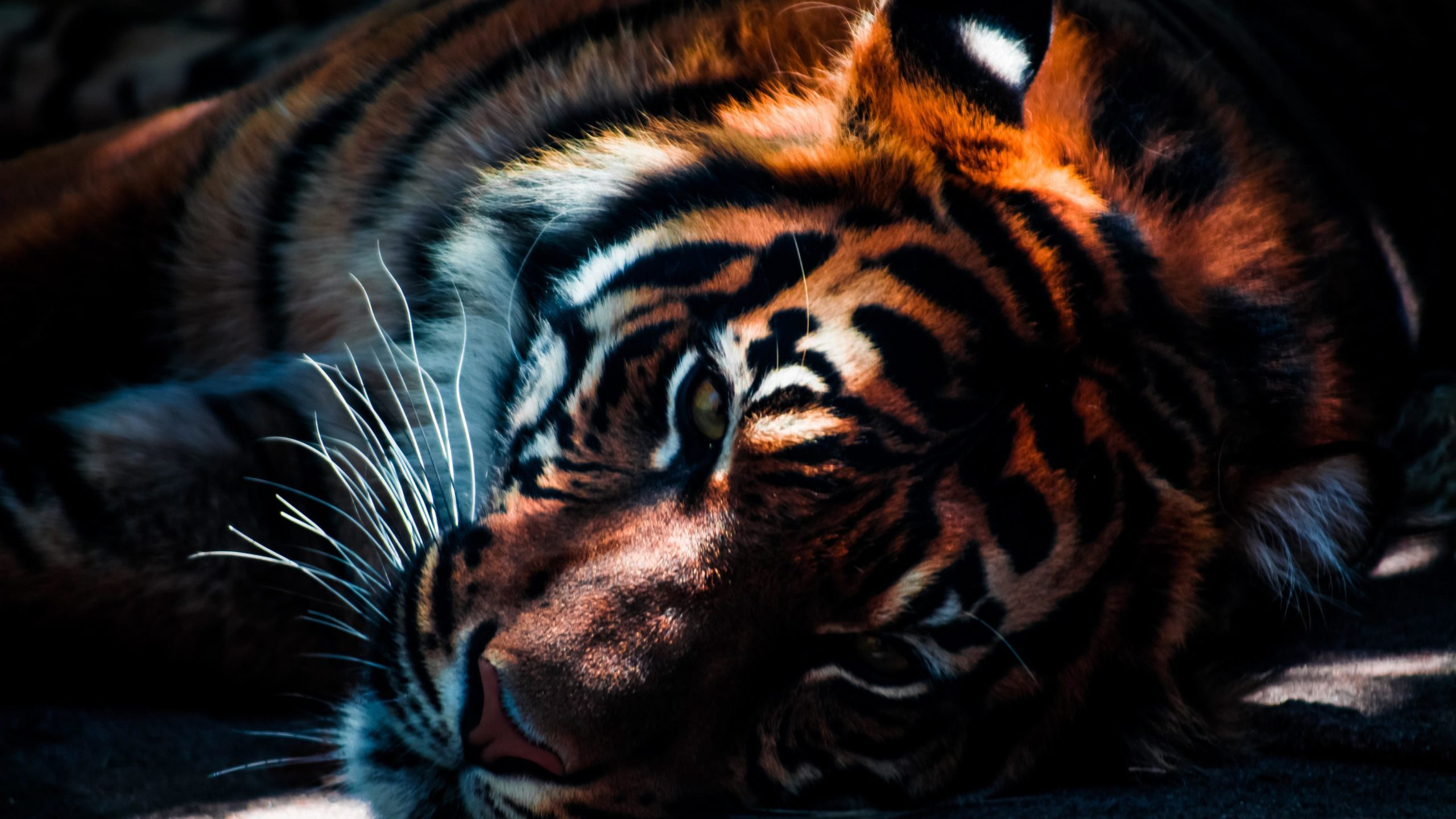 tiger scaled